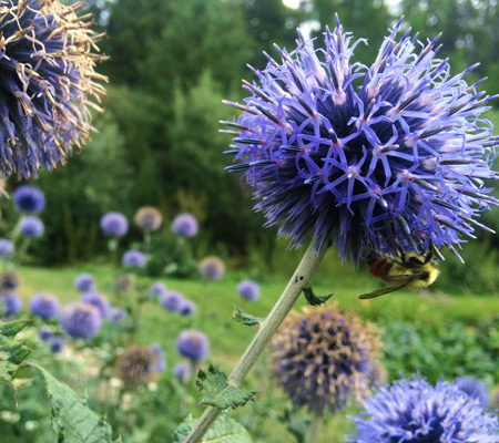 Globe Thistle Nectar Digital Photography